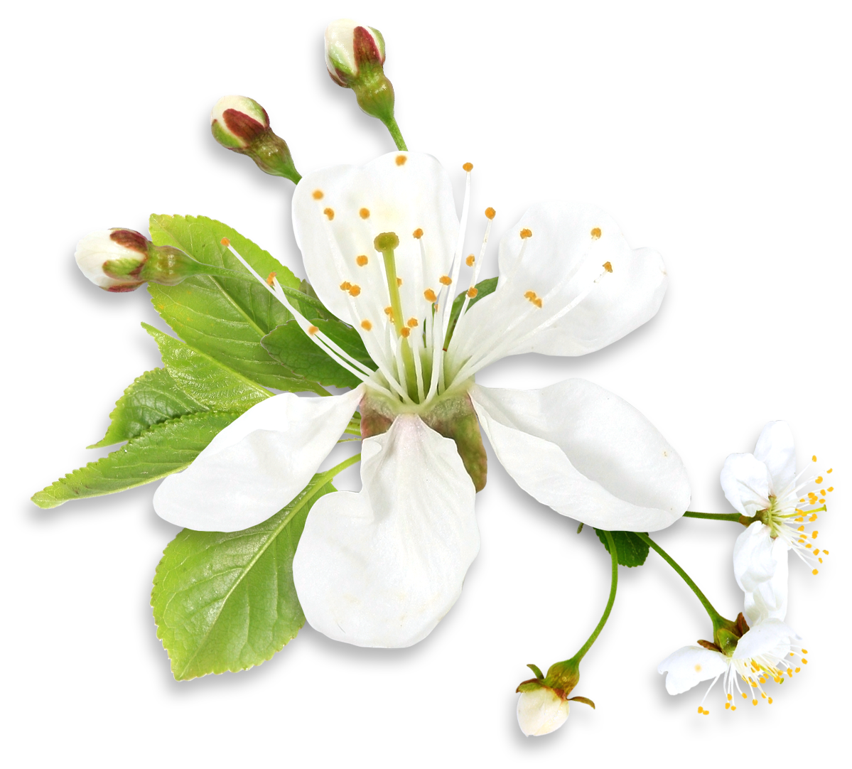 White Spring Tree Flower PNG Clipart